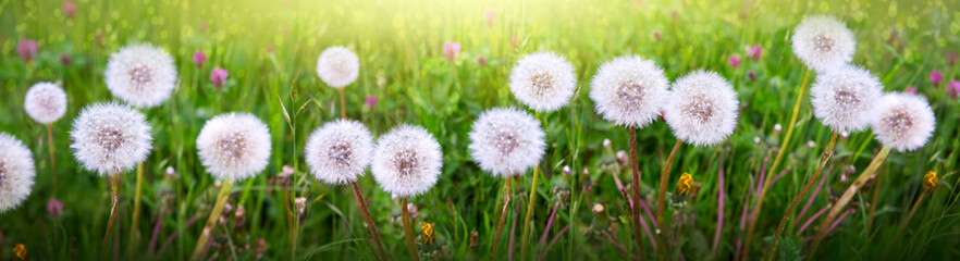 Macro shot on dandelion flowers isolated on green. Wall mural
