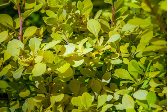 beautiful berberis golden leaved in the garden.