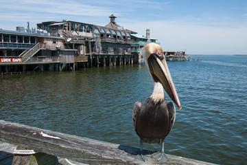 Brown pelican, Cedar Key, Florida