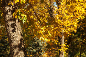 Tree with yellow leaves in sunlight, autumn background. Indian summer