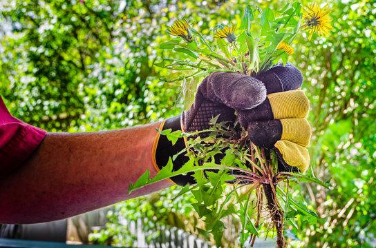 Gloved hand holding pulled dandelion plants