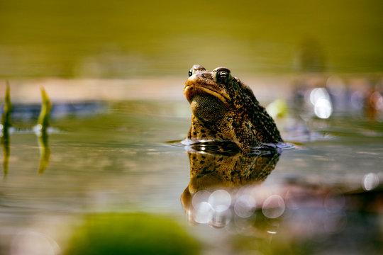 Wildlife Amphibians Malden Park Pond American Toad Eye Level