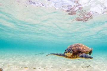 Hawaiian Green Sea Turtle cruising in underwater Hawaii