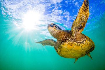 Wall Mural - Hawaiian Green Sea Turtle cruising in underwater Hawaii
