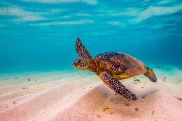 Fototapete - Hawaiian Green Sea Turtle cruising in underwater Hawaii