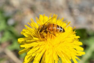 Busy Bee on a Dandelion Flower