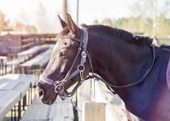 Fototapeta black horse with raised ears