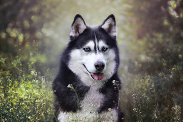 Blue eyed siberian husky spring/summer outdoor portrait in a park/forest. Cute adorable black and white dog. Off leash obedient dog.