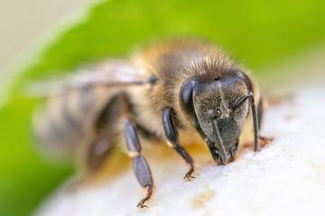 Honigbiene auf einer Pflaume vor unscharfem Hintergrund
