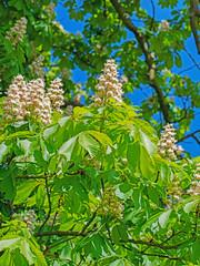Blühender Kastanienbaum, Aesculus hippocastanum