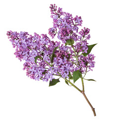 Foto op Aluminium Lilac Lilac branch isolated on white background. Beautiful spring flowers