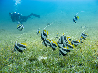School of bannerfish swimming over the sea grass with clear blue sea and silhouette of a diver in the background - Underwater at dive site Bannerfish Bay in Dahab, Egypt