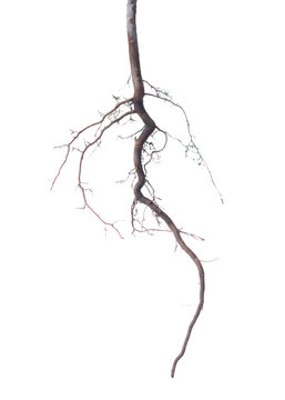 young roots of tree is isolated on background