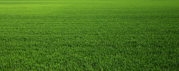 Foto auf AluDibond Gras Lush green grass meadow background