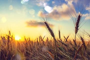 Sun Shining over Golden Barley / Wheat Field at Dawn / Sunset Fotoväggar