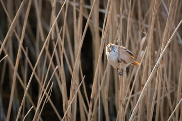 Fototapete - Female Bearded Tit - Reedling on reeds