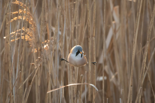 Perched Male Bearded Tit - Reedling on reeds