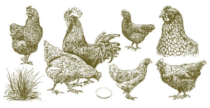 Set of chicken.