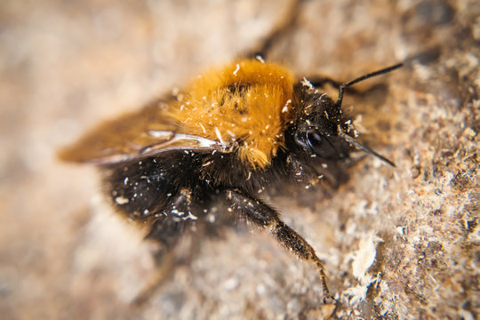 Bumble-bee macro picture