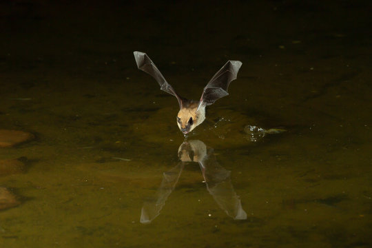 Big Brown Bat (Eptesicus fuscus) photographed with flash at night flying over water in Southern Arizona USA