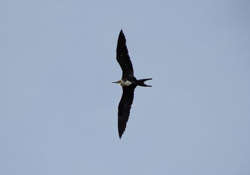 Magnificent Frigatebird in Flight