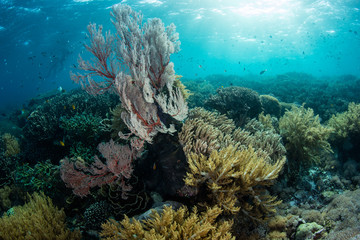 Wall Mural - Sunlight descends on a healthy coral reef in Komodo National Park, Indonesia. This tropical area is known for its high marine biodiversity.