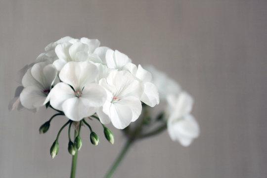 Room white light geranium flowers