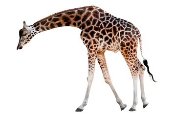 giraffe with head down isolated Wall mural