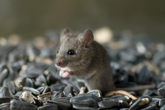 Closeup young wild mouse sits on pile of sunflower seeds in warehouse and look away. Concept of fight with rodents.