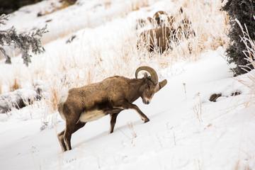 Bighorn ram digs in the snow, Yellowstone