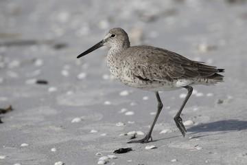 Strandläufer Vogel in Florida