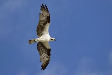 Fischadler in Florida