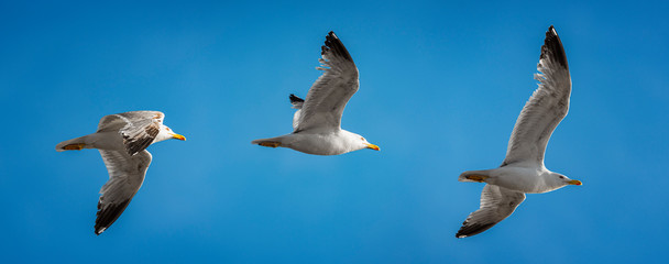 Seagull flight sequence on a blue sky.