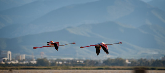 Two flamingos flying together over the pond.