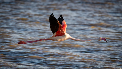 Flamingo flying near sea surface.
