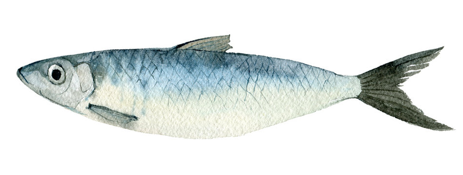 Herring isolated on white background, watercolor illustration