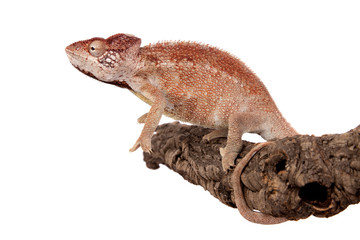 The Oustalets or Malagasy giant chameleon on white