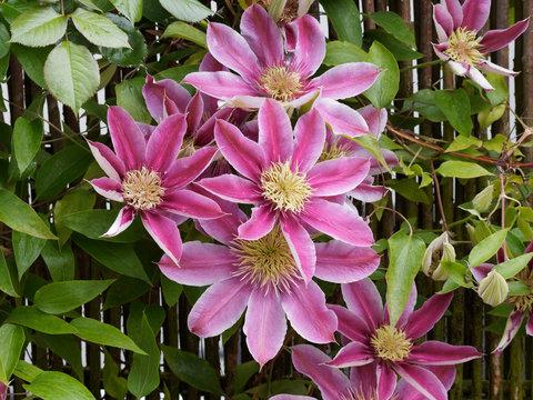 Fleurs de Clématites de ton rose sur pallisade (Clematis patens)