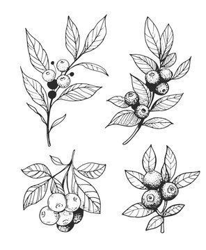 Set of branches with berries. Outline with transparent background. Hand drawn converted to vector