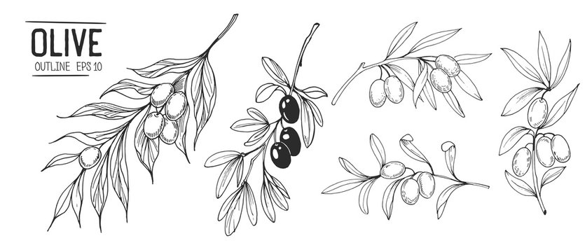 Olive branches. Hand drawn illustration. Vector outline with transparent background