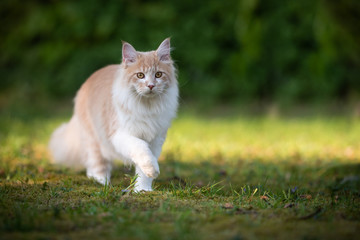 beige fawn maine coon cat on the move walking through the garden on a sunny day in front of a hedge Wall mural