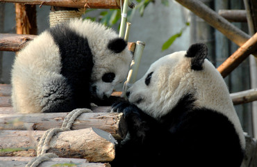 Panda mother and cub at Chengdu Panda Reserve (Chengdu Research Base of Giant Panda Breeding) in Sichuan, China. Two pandas looking at each other.