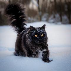 Black Maine Coon cat portrait in winter field