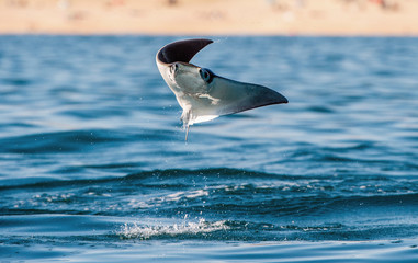 Mobula ray jumping out of the water. Front view. Mobula munkiana, known as the manta de monk, Munk's devil ray, pygmy devil ray, smoothtail mobula, is a species of ray in the family Myliobatida.