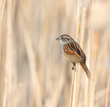 Swamp sparrow on cattail stem