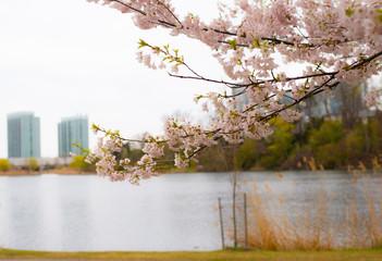 Cherry Blossom in High Park, Toronto