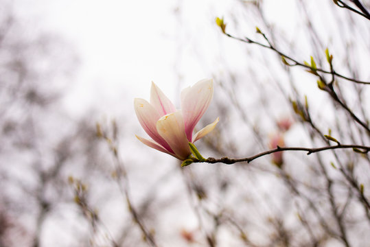 A magnolia flower against the bright sky