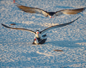 Birds mating