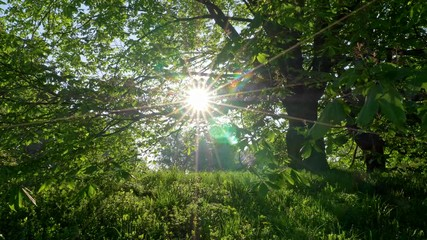 Wall Mural - Rays of afternoon sun getting through green leaved branches of tree on border of meadow and forest. UHD