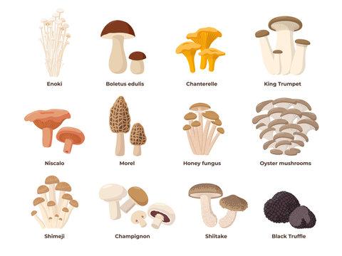 Large Mushroom set of vector illustrations in flat design isolated on white. Cep, chanterelle, honey agaric, enoki, morel, oyster mushrooms, King oyster, shimeji, champignon, shiitake, black truffle.